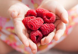 Child's hands holding fresh red raspberries