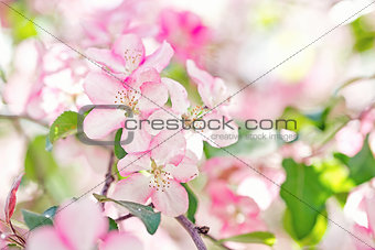 apple flowers, bloom