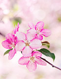 pink apple flowers, bloom