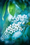 Bird cherry tree in blossom on blue tone