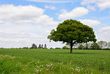 Lone oak tree in a field