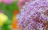 Purple flowers of Allium