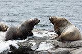 Rookery Northern Sea Lion or Steller Sea Lion. Kamchatka Peninsula