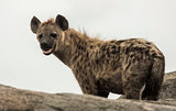 hyena standing on rock, Serengeti, Tanzania, Africa