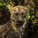 Close-up of a dirty lioness, Serengeti, Tanzania, Africa