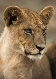 Close-up of a young lion, Serengeti, Tanzania, Africa
