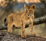 Young lion stand a branch