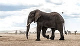 Elephant walking, Serengeti, Tanzania, Africa