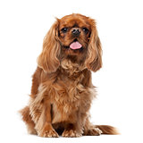 Cavalier King Charles Spaniel (2 years old) in front of a white