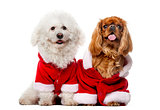 Maltese (4 years old), Cavalier King Charles Spaniel (2 years ol