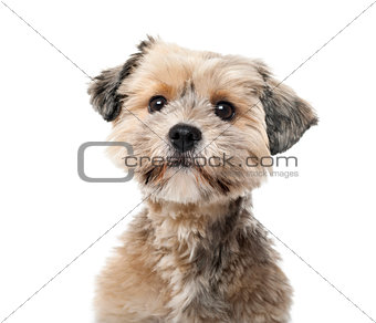 Crossbreed  (1 year old) in front of a white background