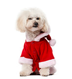 Poodle wearing a Santa pug (11 years old) in front of a white ba