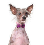 Chinese Crested Dog wearing a bow tie (8 months old) in front of