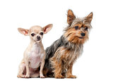 Yorkshire Terrier and  Chihuahua sitting in front of a white bac
