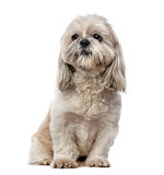 Shih Tzu (5 years old) in front of a white background