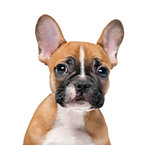 French bulldog puppy in front of a white background