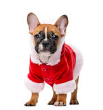 French bulldog puppy wearing a Santa coat in front of a white ba