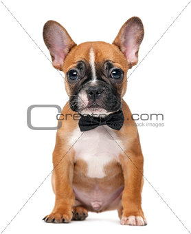 French bulldog puppy wearing a bow tie in front of a white backg