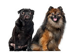 Pug and Spitz in front of a white background