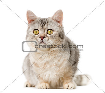 American Polydactyl (10 years old) in front of a white backgroun