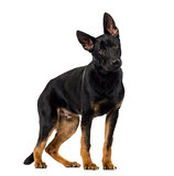 German Shepherd Dog puppy (5 months old) in front of a white bac