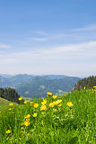 Buttercups Bavaria Alps