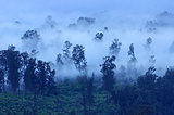 Trees in the fog, Ijen Volcano, Indonesia