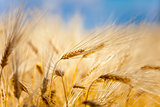 yellow ear of wheat