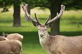 Lone Red Deer