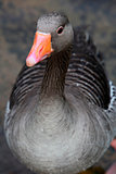 Greylag Goose close up
