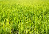Rice field green grass with sun shine