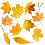 Collection of beautiful dry golden leaves