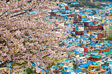 Sakura tree at Gamcheon Culture Village, Busan