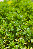 close-up of mint