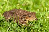 European common toad, bufo bufo outdoor