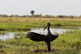 African Openbill with wings spread to the evening sun