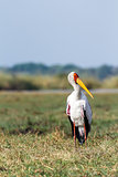 Yellow billed stork on the river Chobe