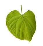 Spring tilia leaf