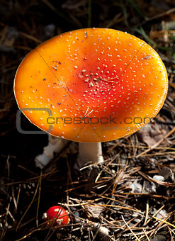 Amanita muscaria mushroom in dark forest at sun day