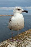 Seagull at Lagos Harbour, Algarve, Portugal