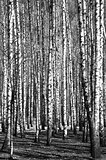 Spring birch trees black and white