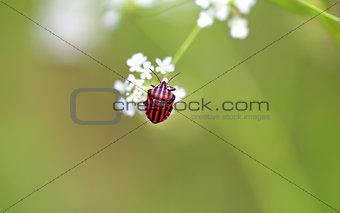 Beautiful beetle