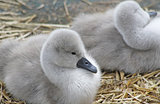 Tiny Mute Swan cygnets resting in their nest
