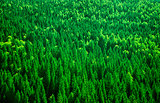 Fir tree forest background