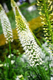 White Eremurus or Foxtail Lily