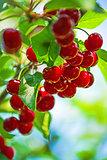 Sweet Cherry Fruit on The Bracnh