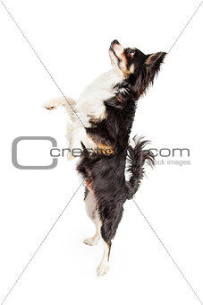 A Dancing Chihuahua Mixed Breed Dog