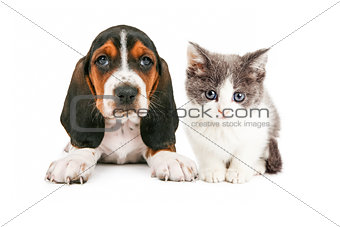 Adorable Basset Hound Puppy and Kitten Sitting Together