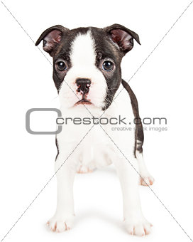 Adorable Black and White Boston Terrier Puppy Dog