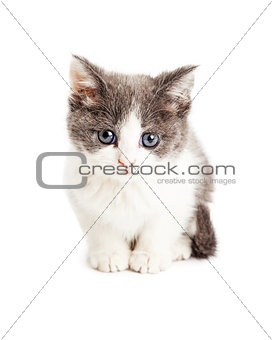 Adorable Kitten Sitting Looking Forward